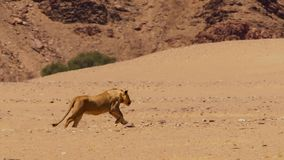 Female lion running in African bushveld, Namib desert, Namibia stock images