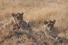 Female Lion s. Two female lions on the Serengeti royalty free stock photo