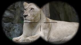 Female lion seen through binoculars. Watching animals at wildlife safari. Shot with a Sony a6300 fps 29,97 4k stock footage
