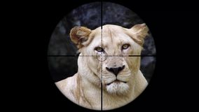 Female Lion Seen in Gun Rifle Scope. Wildlife Hunting. Poaching Endangered, Vulnerable, and Threatened Animals. Shot with a Sony a6300 fps 29,97 4k stock footage