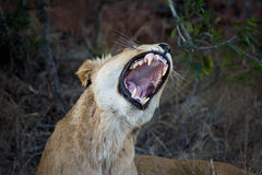 Female lion showing teeth Stock Photo