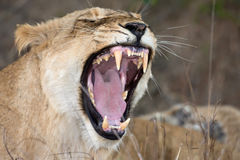 Female lion showing teeth royalty free stock photo