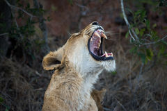 Female lion showing teeth Royalty Free Stock Image