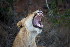 Female lion showing teeth Stock Images