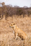 Female lion sitting in the grass Royalty Free Stock Photo