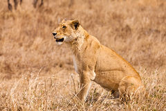 Female lion sitting in the grass Stock Photo