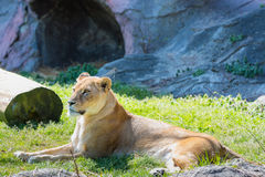 Female lion sitting on green grass in daylight Royalty Free Stock Photo