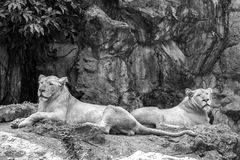 Female lion sitting on the rock. Black and white. Royalty Free Stock Images