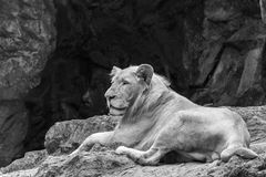 Female lion sitting on the rock. Black and white Royalty Free Stock Image