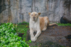 A Female Lion Sitting On The Rock While Rain Falling, Open Zoo. royalty free stock photos