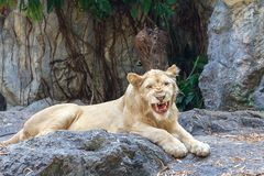 Female lion sitting on the rock with stone wall and green leaf background Stock Image