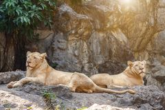 Female lion sitting on the rock with stone wall, green leaf and sunlight background Stock Photography