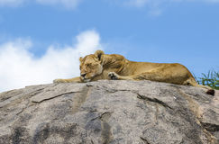 Female lion sleeping. Female lion resting on the rock in Serengeti, Tansania Royalty Free Stock Images
