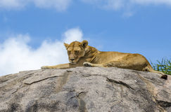 Female lion sleeping. Female lion resting on the rock in Serengeti, Tansania Stock Images