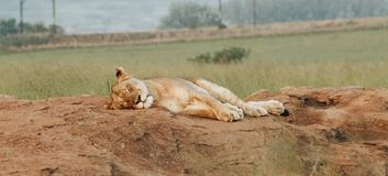 Female lion sleeping on the rocks royalty free stock photography