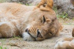 Female lion sleeping on sand. Stock Images