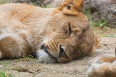 Female lion sleeping on sand. Royalty Free Stock Photo