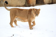 Female lion in snow Royalty Free Stock Photo