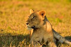 Female lion South Africa. Female lion photographed at sunset in Inyati Sabi Sands area South Africa Stock Image