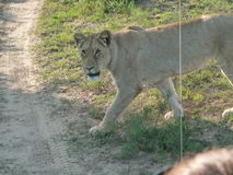 Female Lion in South Africa Stock Photography