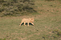 Female Lion in South Africa Stock Photo