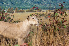 Female Lion Stalking in Grassland Stock Photo