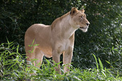 Female lion standing. An adult female lion looking into the distance from a hill Royalty Free Stock Photography