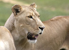 Female Lion In The Sun Royalty Free Stock Photography