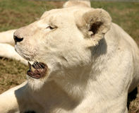 Female Lion In The Sun Royalty Free Stock Image