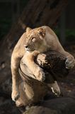 Female lion in a tree. Closeup of a big african female lion in a tree Royalty Free Stock Photo