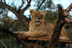Female lion. On a tree Royalty Free Stock Photo