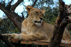 Female lion. On a tree Stock Images