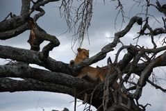 Female lion in tree Royalty Free Stock Photography