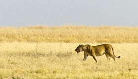 Female Lion with VHF GPS monitoring collar Royalty Free Stock Image