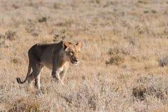 Female Lion walking alone. Single Female Lion (Panthera leo) standing in early morning light, Etosha National Park, Namibia stock photography