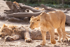 Female lion walking around and defend herd Royalty Free Stock Photo
