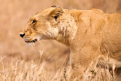 Female lion walking  through the grass Royalty Free Stock Photos