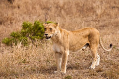 Female lion walking  through the grass Royalty Free Stock Images