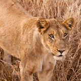 Female lion walking  through the grass Stock Images