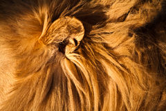 Female lion walking  through the grass Stock Photography