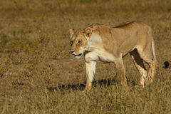 Female lion walking in grass Stock Photo