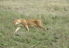 Female Lion walking in grassland Royalty Free Stock Photos