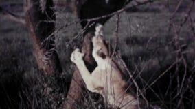 Female Lion Walks Around & Climbs Tree - Vintage 8mm. Female Lion Walks Around And Climbs Tree - Vintage 8mm stock video footage