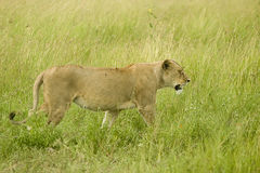 Female lion. A female lion walks by the vehicle containing the photographer. the location is the Serengetti plain in Tanzania stock image