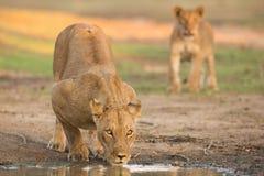 Female Lion (Panthera leo) drinking Stock Photography