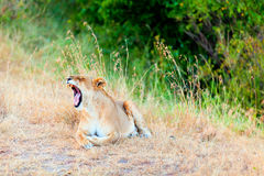 Female lion yawning, Masai Mara Royalty Free Stock Photo