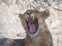 Female lion yawning and showing sharp teeth and tongue under thorny bush in Etosha National Park, Namibia, Africa Stock Photos