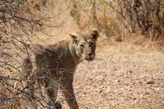 Female lionduring  day time  at ruaha national park tanzania. Nice and most aware some picture taken after waking up of this lion Royalty Free Stock Photos