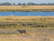 Female lione walking at bank of Chobe River with human settlement in background in Namibia, Chobe NP, Botswana, Africa. Female lione walking along bank of Chobe Stock Photography