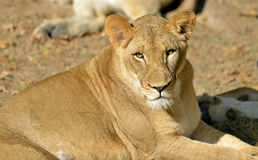 Female Lioness Royalty Free Stock Images
